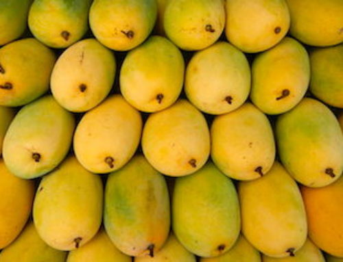 What goes into growing probably the best Mangoes in India?